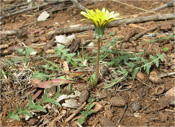 Taraxacum sect. Erythrosperma (H.Lindb.) Dahlst.