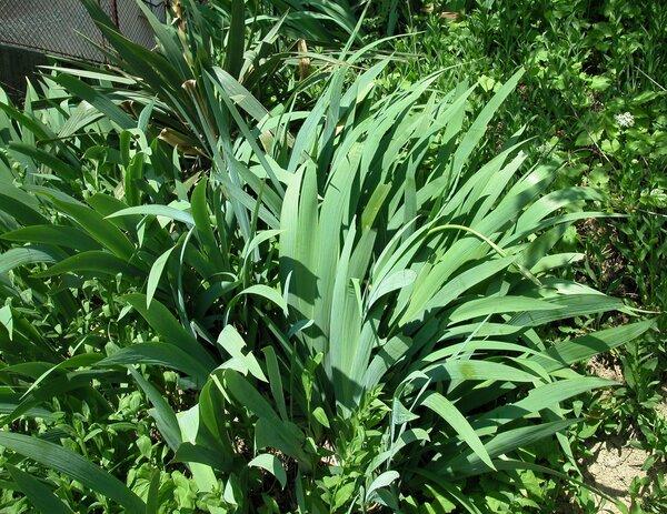 Iris x sambucina L.