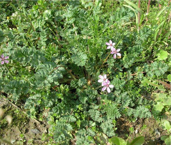 Erodium cicutarium (L.) L'Hér. subsp. cicutarium var. carstiense Posp.