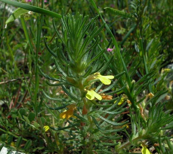 Ajuga chamaepitys (L.) Schreb. subsp. chamaepitys