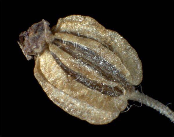 Silphiodaucus prutenicus (L.) Spalik, Wojew., Banasiak, Piwczyński & Reduron