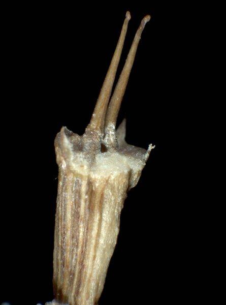 Oenanthe pimpinelloides L.
