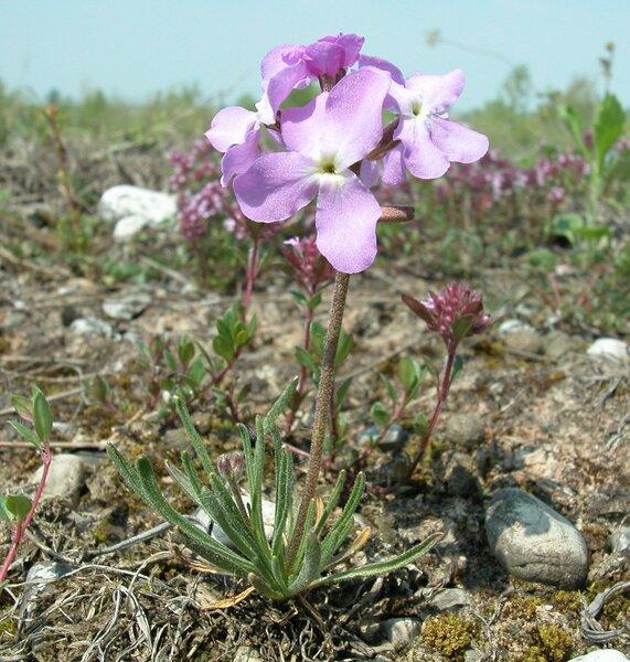 Matthiola fruticulosa (L.) Maire subsp. valesiaca (Boiss.) P.W.Ball