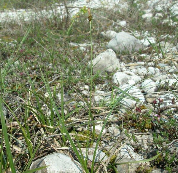 Carex liparocarpos Gaudin subsp. liparocarpos