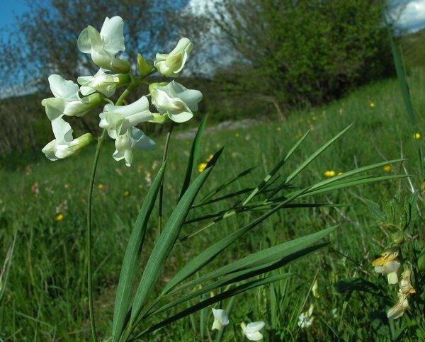 Lathyrus pannonicus (Jacq.) Garcke subsp. varius (Hill) P.W.Ball