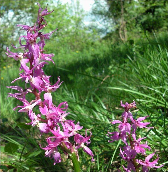 Orchis mascula (L.) L. subsp. speciosa (Mutel) Hegi