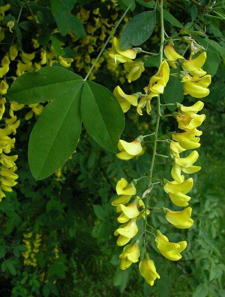 Laburnum anagyroides Medik. subsp. anagyroides