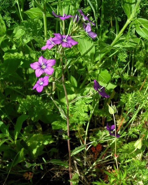 Legousia speculum-veneris (L.) Chaix subsp. speculum-veneris