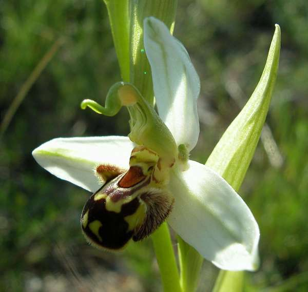 Ophrys apifera Huds.