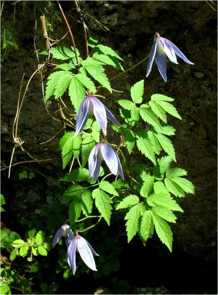 Clematis alpina (L.) Mill.