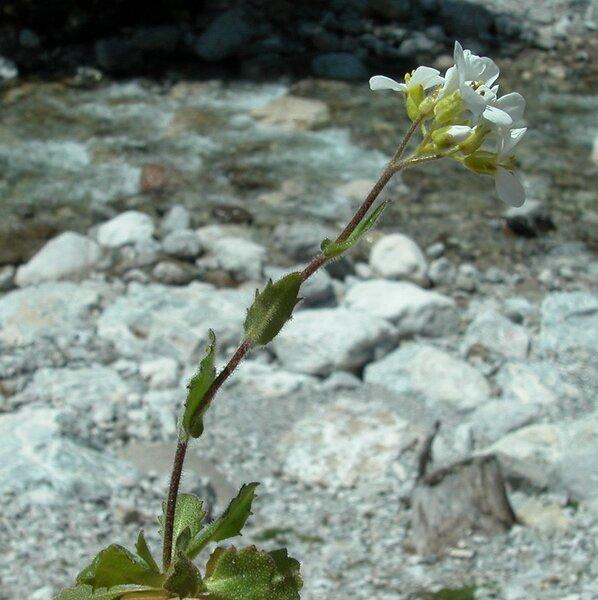 Arabis alpina L. subsp. alpina