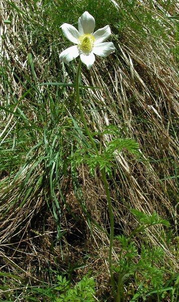 Pulsatilla alpina (L.) Delarbre subsp. alpina