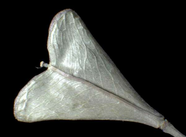 Capsella rubella Reut.