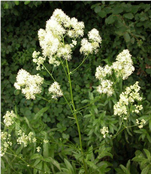 Thalictrum simplex L. subsp. galioides (DC.) Korsh.