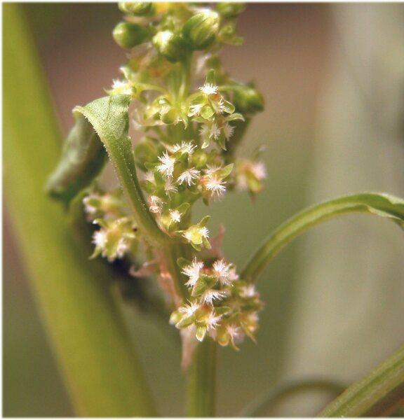 Rumex obtusifolius L. subsp. obtusifolius
