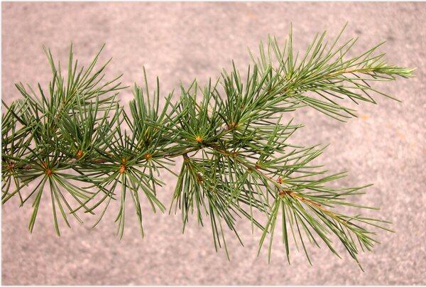 Cedrus libani A.Rich. subsp. libani