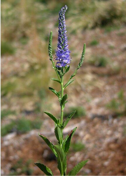 Veronica barrelieri H.Schott ex Roem. & Schult. subsp. barrelieri