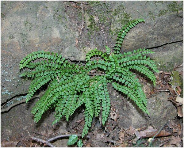 Asplenium trichomanes L. subsp. quadrivalens D.E.Mey.