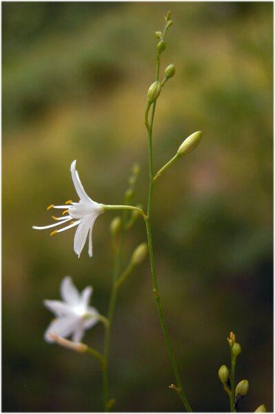 Anthericum ramosum L.