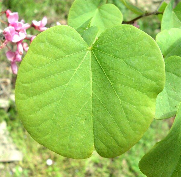 Cercis siliquastrum L. subsp. siliquastrum