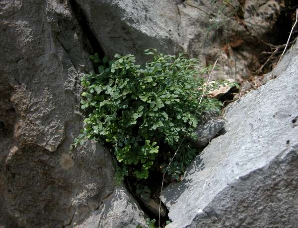Asplenium ruta-muraria L. subsp. dolomiticum Lovis & Reichst.