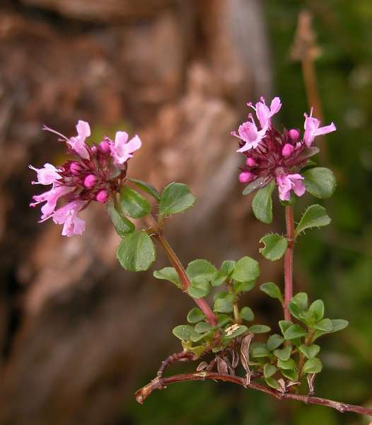 Thymus praecox Opiz subsp. polytrichus (A.Kern ex Borbás) Jalas