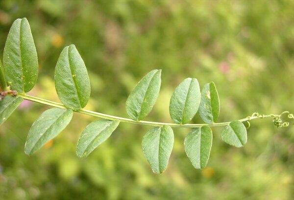 Vicia sepium L.