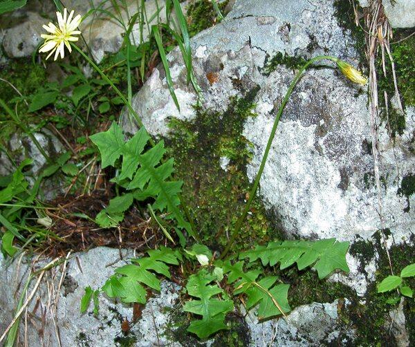 Aposeris foetida (L.) Less.
