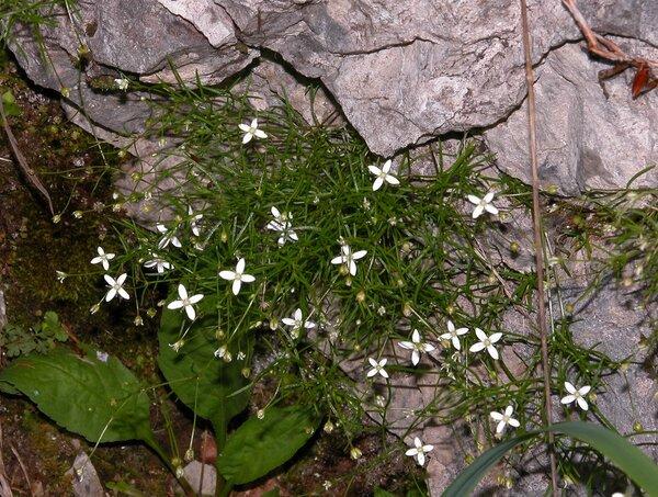 Moehringia muscosa L.