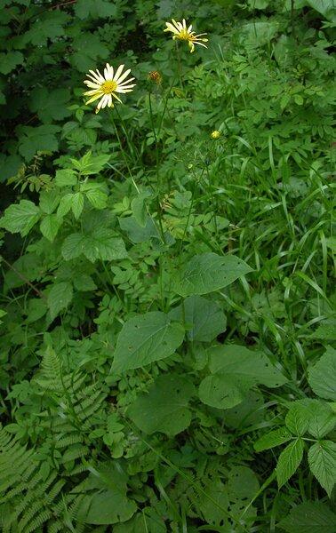 Doronicum austriacum Jacq. subsp. austriacum