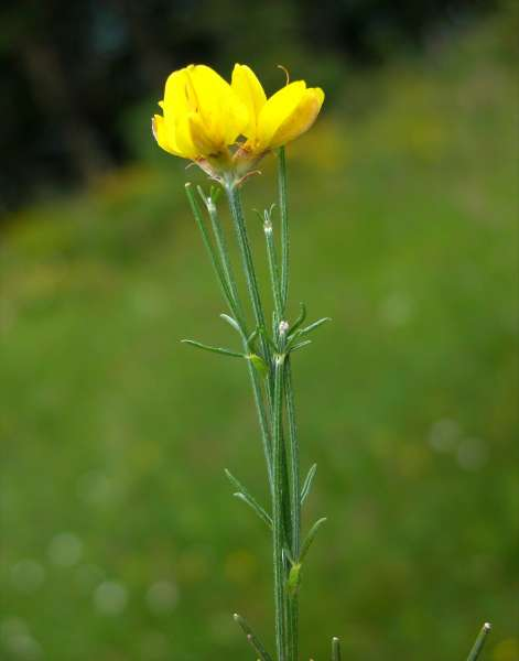Genista radiata (L.) Scop.