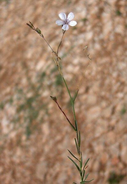 Petrorhagia saxifraga (L.) Link subsp. saxifraga