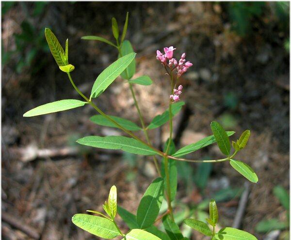 Poacynum venetum (L.) Mavrodiev, Laktionov & Yu.E.Alexeev