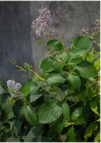 Ceanothus spp.