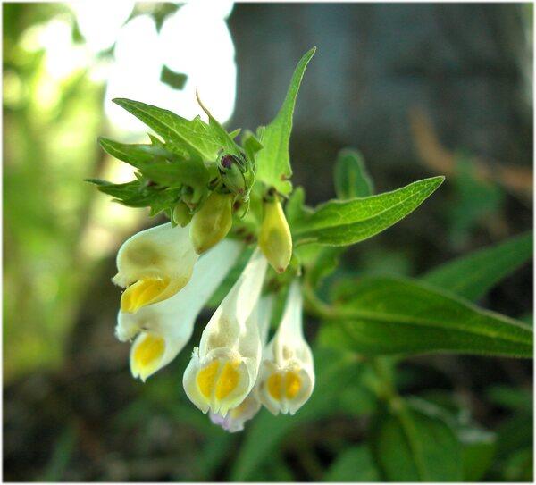 Melampyrum pratense L. subsp. pratense