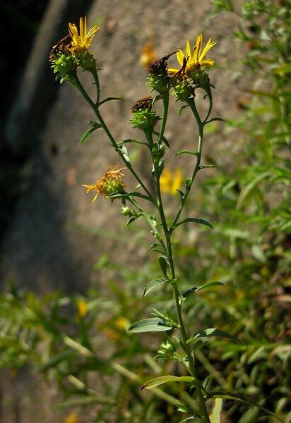 Pentanema ensifolium (L.) D.Gut.Larr., Santos-Vicente, Anderb., E.Rico & M.M.Mart.Ort.
