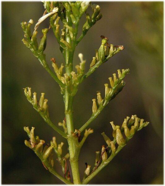 Centranthus ruber (L.) DC. 'Albus'