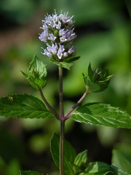 Mentha piperita L. v. officinalis f. rubescens