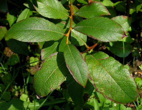 Salix hegetschweileri Heer