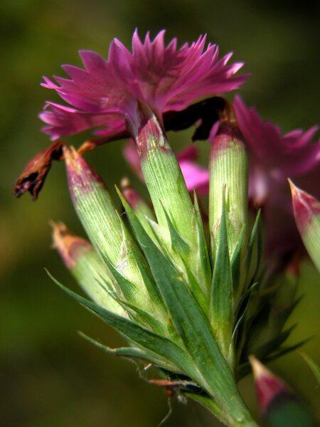 Dianthus seguieri Vill. subsp. seguieri