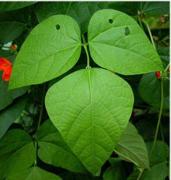 Phaseolus coccineus L.