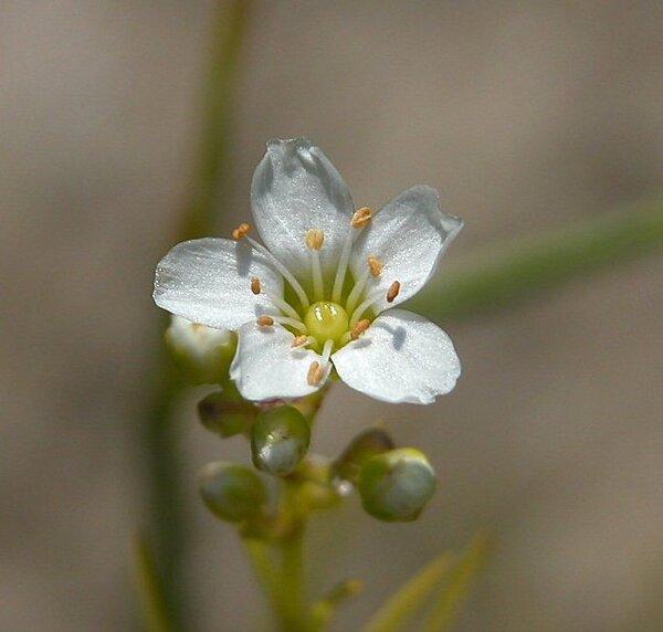 Arenaria longifolia Bieb.