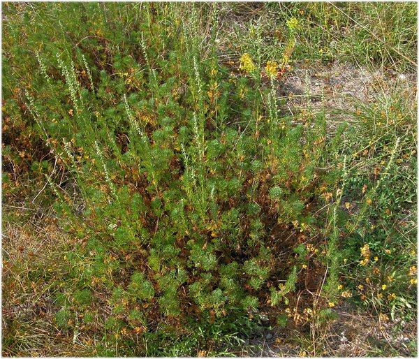 Artemisia alba Turra