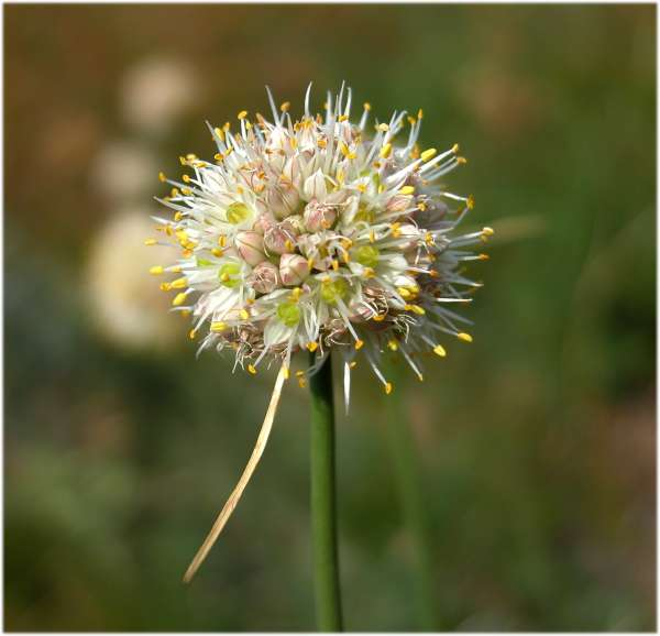 Allium ochroleucum Waldst. & Kit.