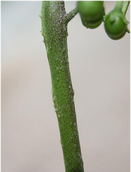 Solanum villosum Mill.