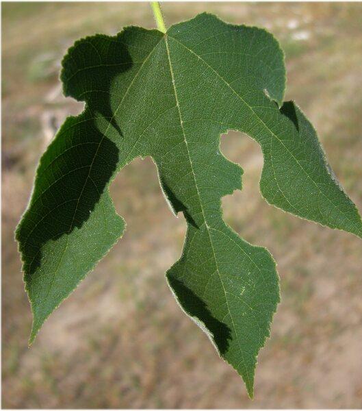 Broussonetia papyrifera (L.) Vent.