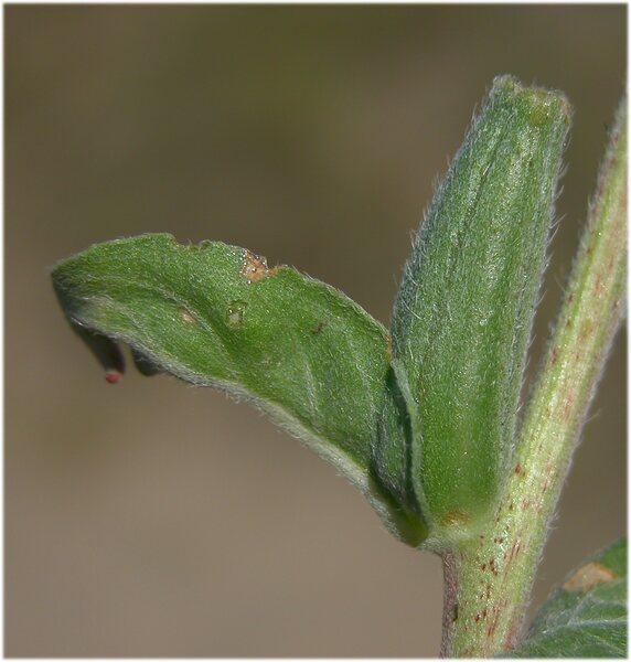 Oenothera adriatica Soldano