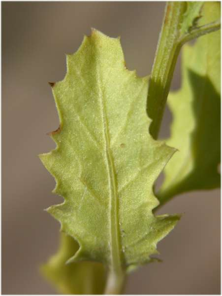 Cycloloma atriplicifolium (Spreng.) J.M.Coult.