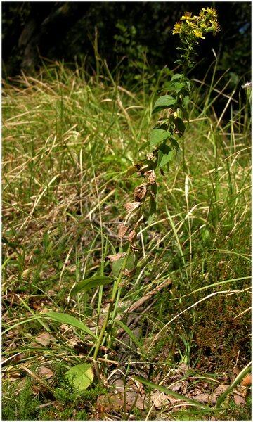 Hieracium brevifolium Tausch