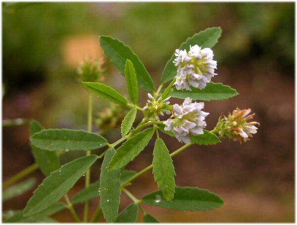 Trigonella caerulea (L.) Ser.